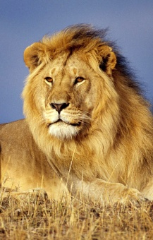 lion_portrait.jpg