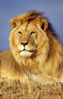 lion_portrait.jpg
